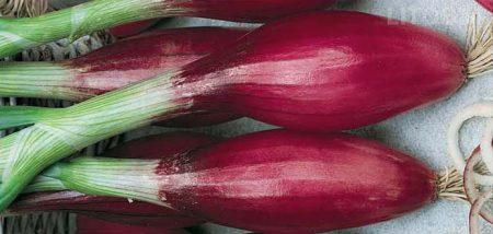 cipolla-rossa-lunga