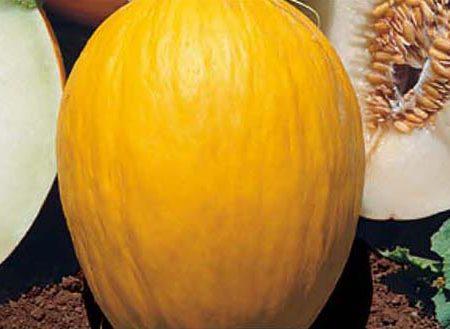 Melone giallo invernale amarillo oro