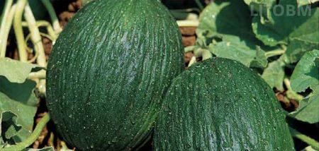 melone-verde-invernale-tendral