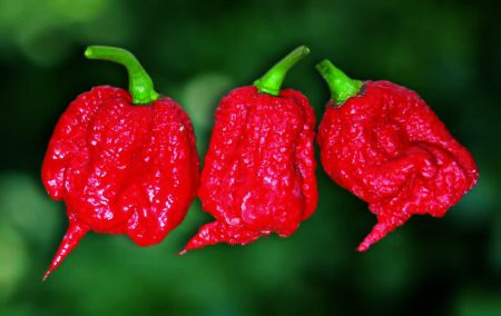 Carolina_Reaper_pepper_pods