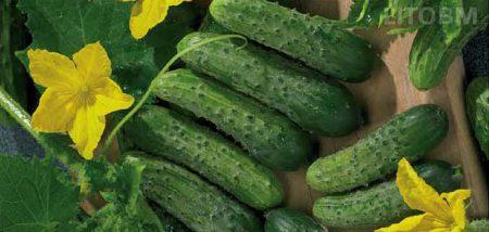 cetriolo-da-aceto-green-pich