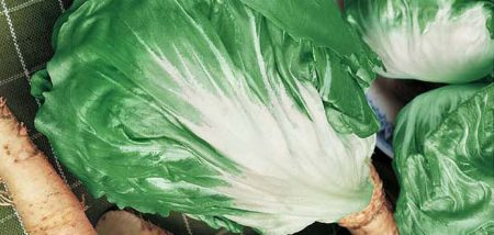 cicoria-mantovana-sel-falsinea