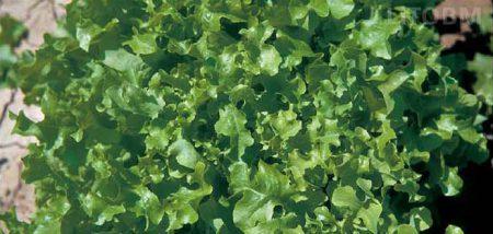 lattuga-foglia-quercia-verde