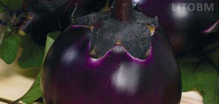 melanzana-tonda-violetta-prosperosa