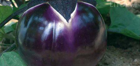 melanzana-tonda-violetta-purpura