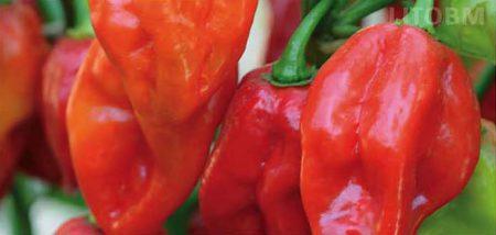 peperoncinbo-habanero-rosso