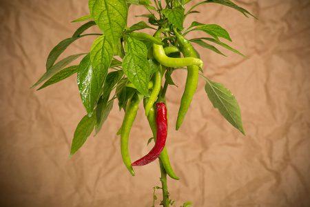 peperoncino-di-cayenna-f1—2