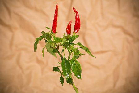 peperoncino-minicornetto-rosso–2