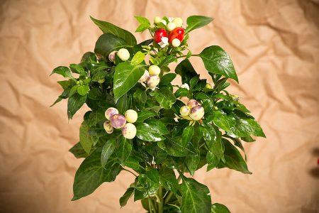 peperoncino-multicolor-variegato-