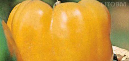 peperone-cuneo-giallo