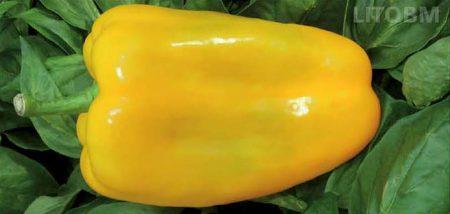 peperone-quadrato-allungato-giallo-cristal