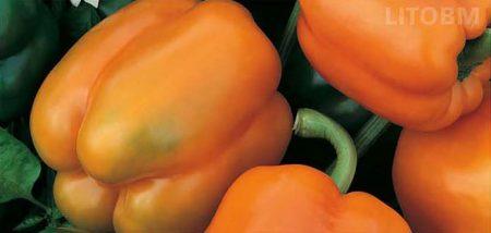 peperone-quadrato-arancione-oregon
