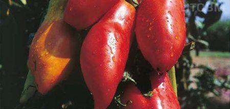 pomodoro-corno di marzano-indeterminato