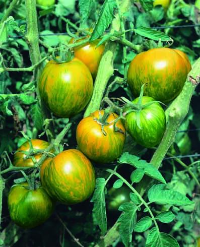 Tomate / Lycopersicon esculentum Green Zebra