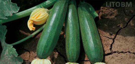 zucchino-scuro-alice