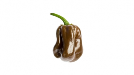 Peperoncino Habanero chocolate l'Ortofruttifero