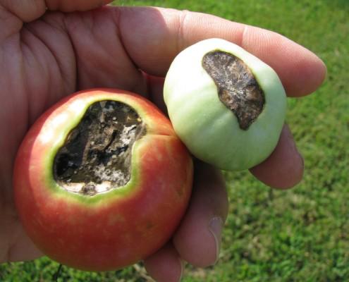 malattie-del-pomodoro-come-curare-il-marciume-apicale