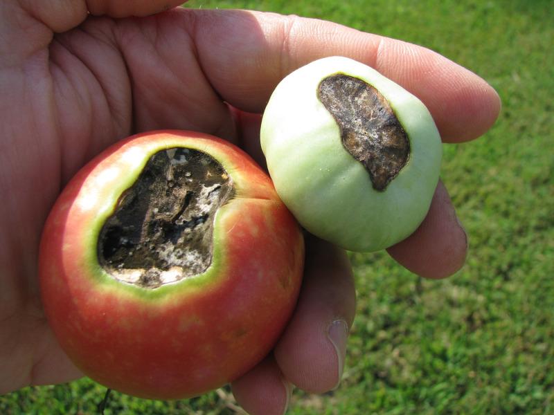 Come curare il marciume apicale l 39 ortofruttifero for Malattie pomodoro