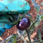 pomodoro nero sunblack dettaglio maturazione