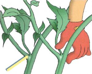 Come coltivare il pomodoro nero sunblack l 39 ortofruttifero for Scacchiatura pomodori