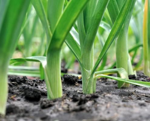 Ortaggi da piantare ad agosto: porri