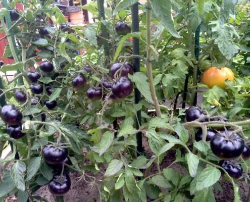 pomodoro nero sunblack a grappolo