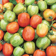 pomodoro STRIPED STUFFER pomodori di varieta antiche