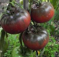 pomodoro black da tula pomodori di varieta antiche