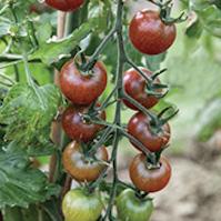 pomodoro chocolate cherry pomodori di varieta antiche