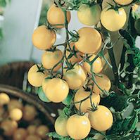 pomodoro cocktail cherry bianco pomodori di varieta antiche