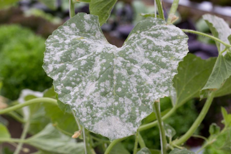 Oidio delle zucchine prevenirlo e curarlo l 39 ortofruttifero for Melanzane innestate