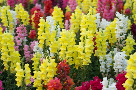 A field of snap dragon flowers