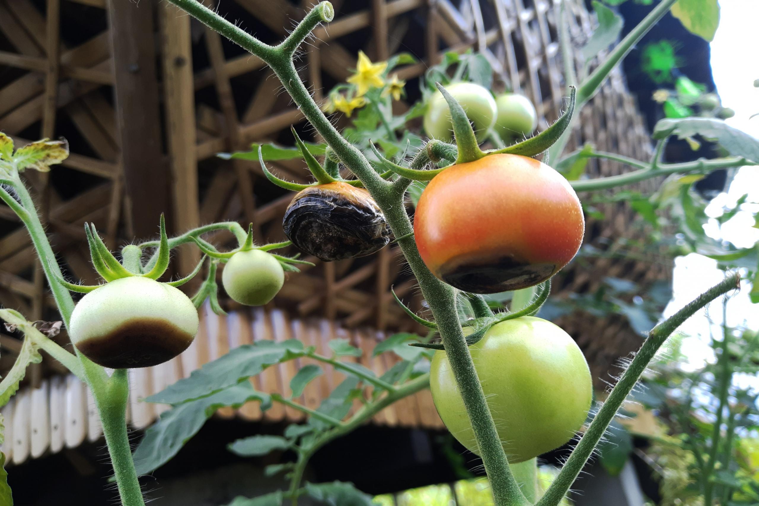 Come Coltivare Pomodori Sul Balcone coltivazione del pomodoro: il re dell'orto! • l'ortofruttifero